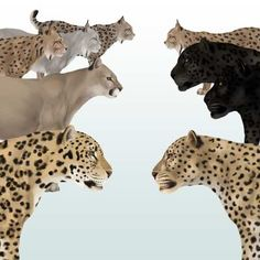 Drawn snow leopard mountain lion Cats cheetahs and by image)