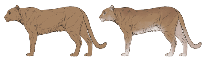 Drawn snow leopard mountain lion How — Everything to Cats: