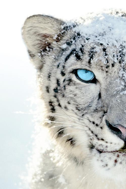 Drawn snow leopard pinterest Leopard hunting tattoo 25+ Pinterest