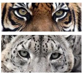 Drawn snow leopard snow tiger Snow Leopards tiger Facts —