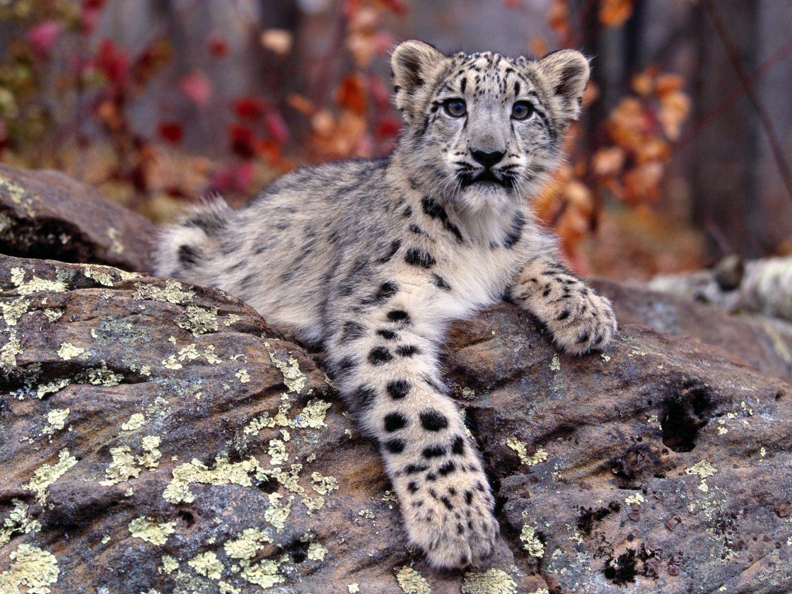 Drawn snow leopard snow tiger Snow  Drawing Leopard Leopard