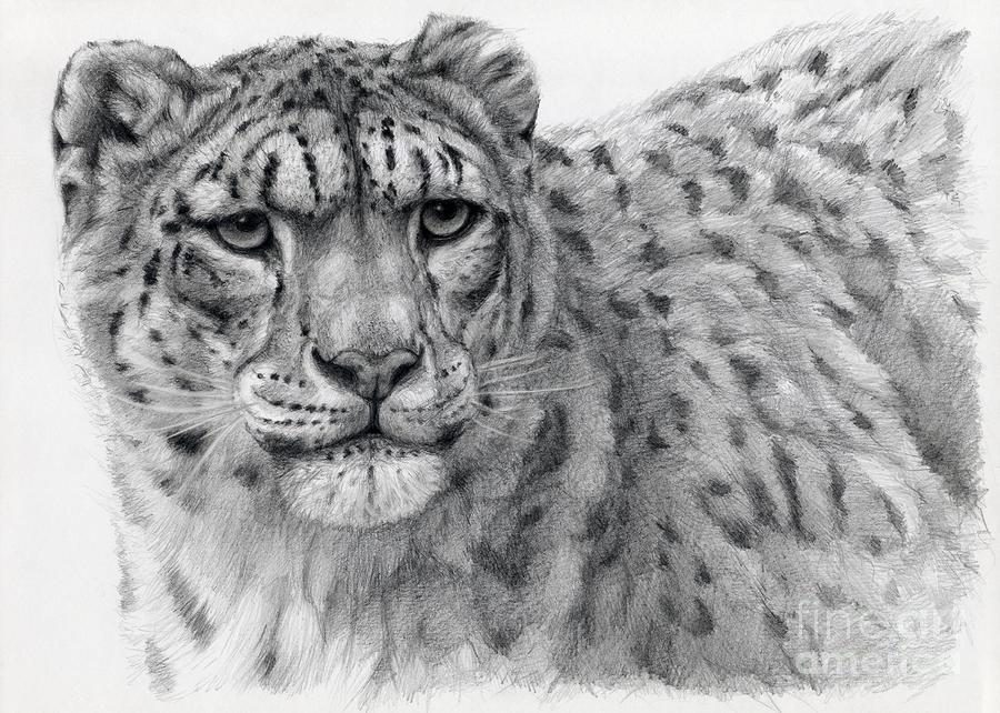 Drawn snow leopard snow tiger Portrayal Fine Snow Wildlife on