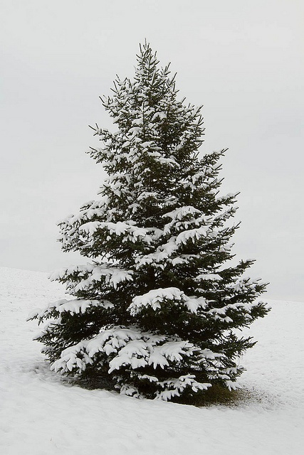 Drawn pine tree snow covered tree Snow for covered Thank God
