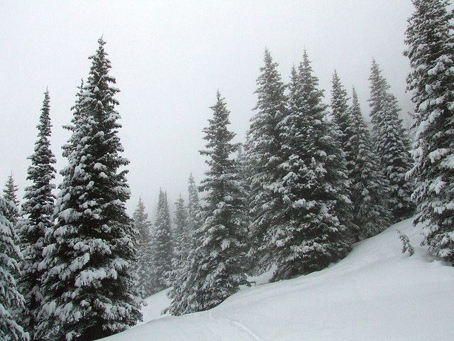 Drawn pine tree snow covered tree Snow 24 Pine and