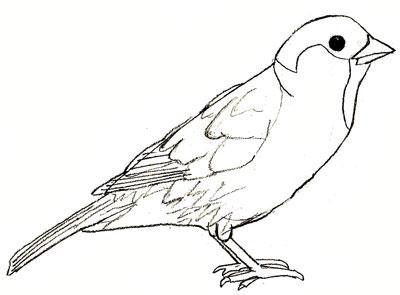 Drawn sparrow A Step Drawing Draw Sparrow
