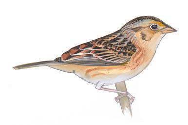 Drawn sparrow Sparrow Guide Audubon Grasshopper Sparrow