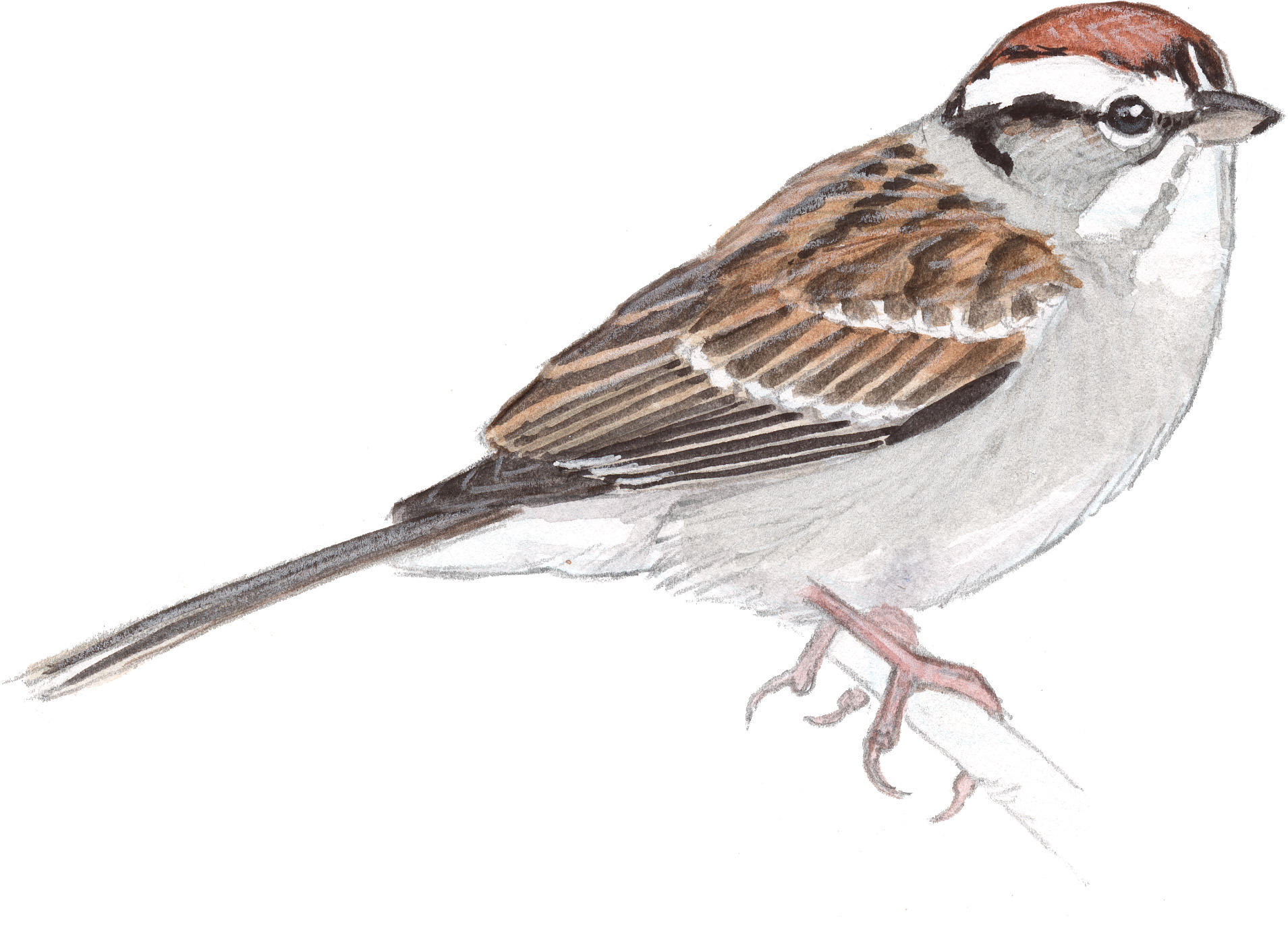 Drawn sparrow Drawing Picture Pencil Images Realistic