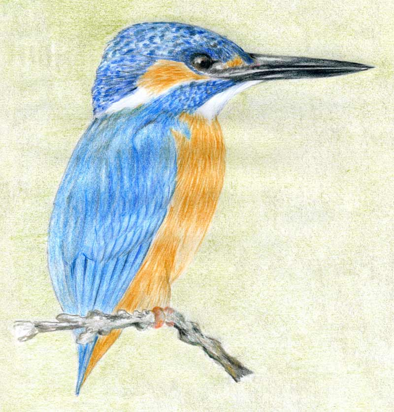 Drawn sparrow color Kingfisher bird Drawing photo#2 drawing