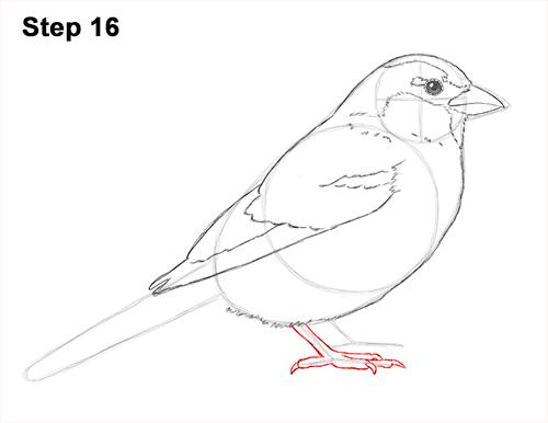 Drawn sparrow detailed Sparrow Draw a 16 Draw