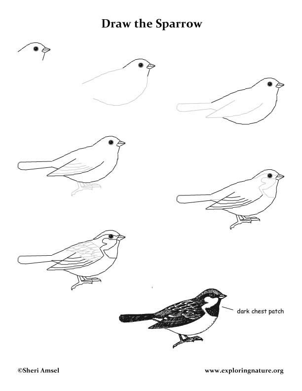Drawn sparrow simple To Learn Drawing draw Exploringnature