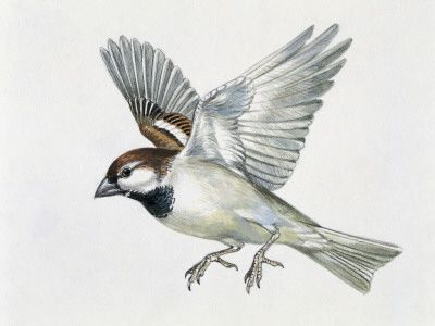 Drawn sparrow tree spirit Best images drawing on 29