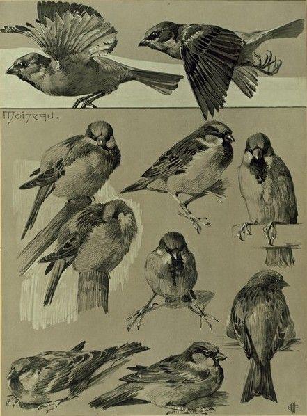 Drawn sparrow tree spirit 1958) house Mëheut sparrow (1882
