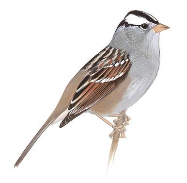 Drawn sparrow tree spirit Sparrow Guide throated White Sparrow