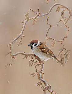 Drawn sparrow tree spirit Egdom Sparrow by one Henny