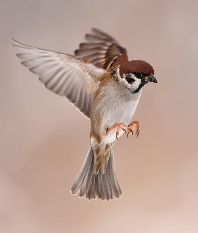 Drawn sparrow tree spirit Tree Sparrow 500px Egdom Flying