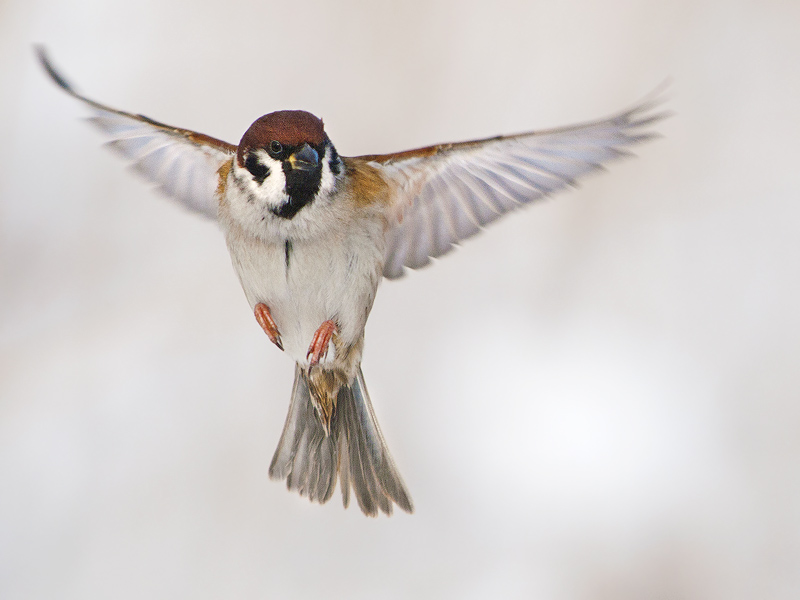 Drawn sparrow tree spirit Sparrow for flying detail tree