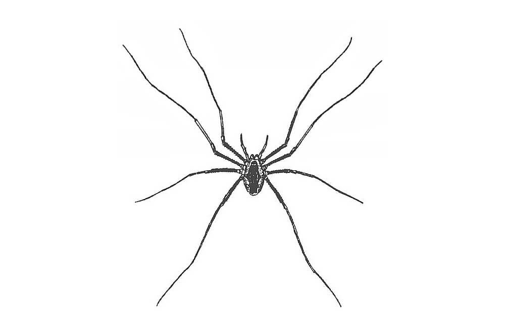 Drawn spider arachnid #14