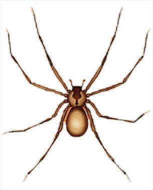 Drawn spider brown recluse #9