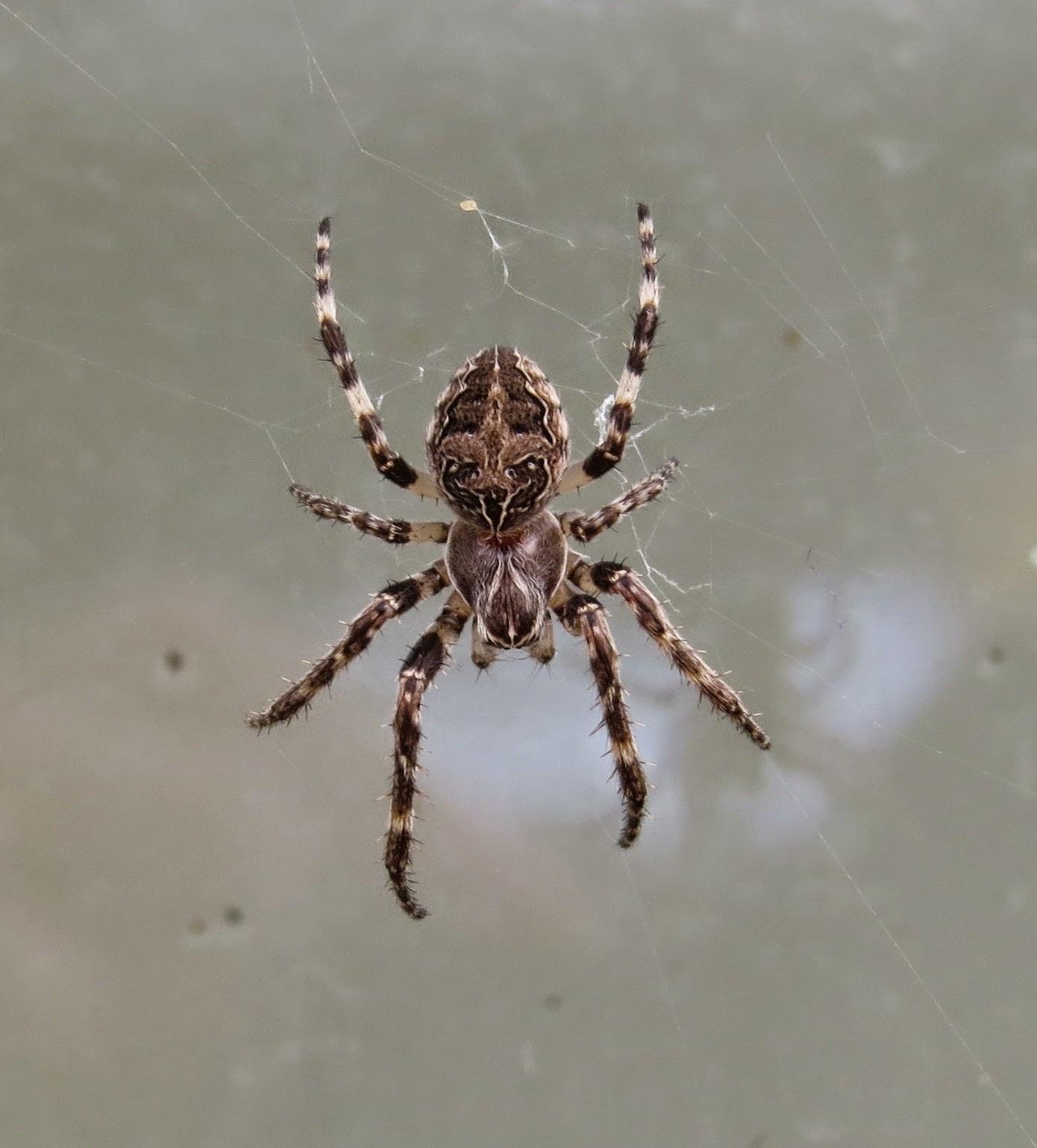 Drawn spider bug Spider) no