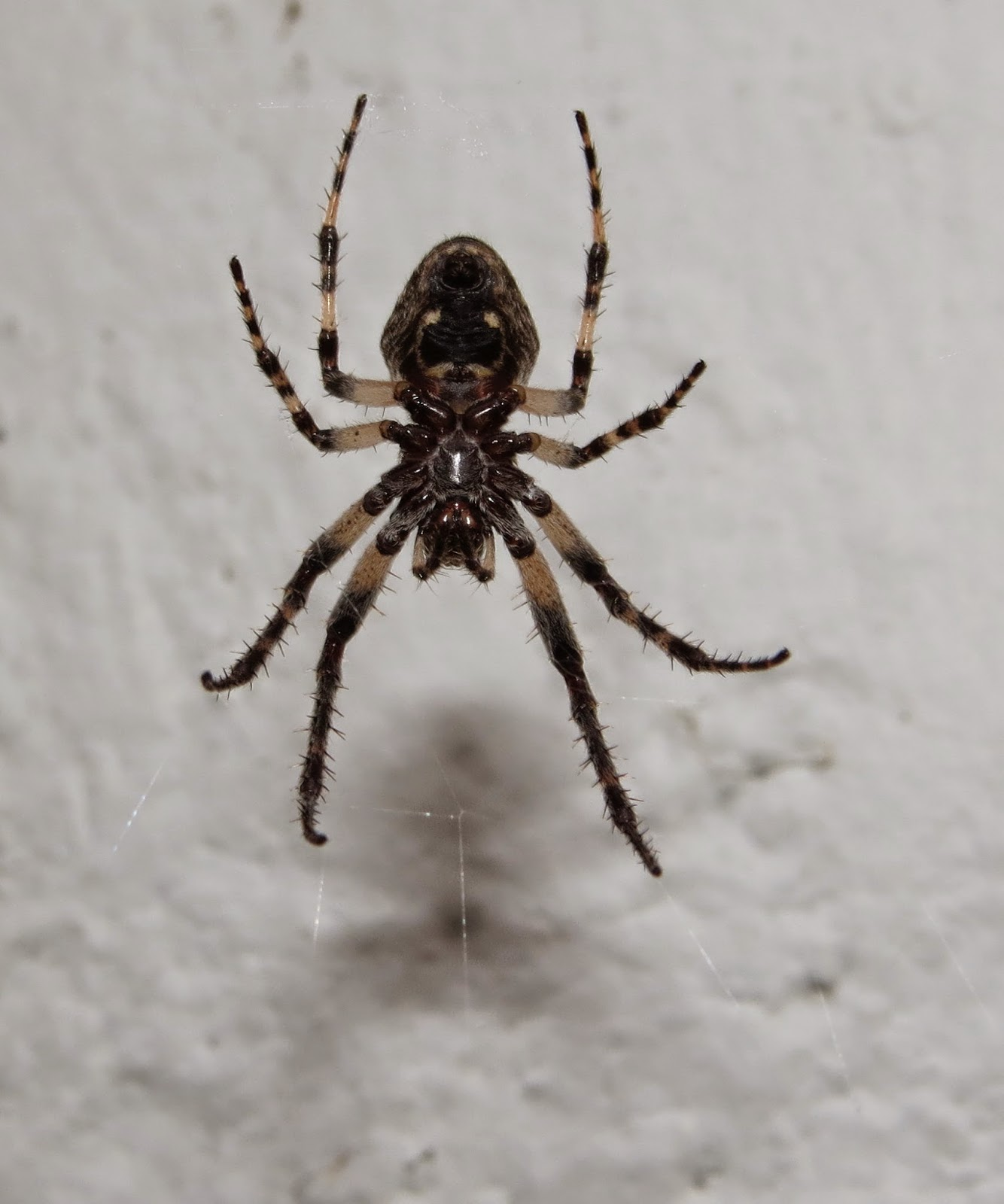 Drawn spider bug Like prey outdoor be Spider)