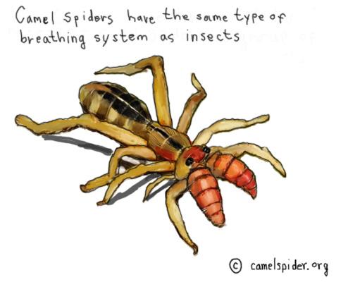 Drawn spider camel spider System and skin trachea Spider