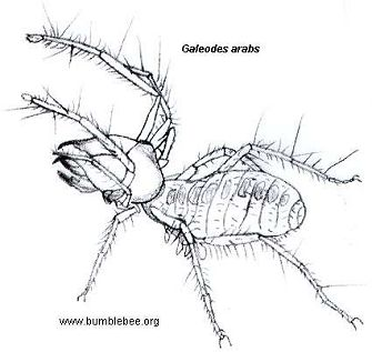 Drawn spider camel spider Is the and the found