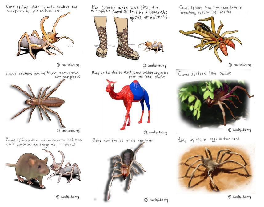 Drawn spider camel spider Camel attacks photos Spider skin