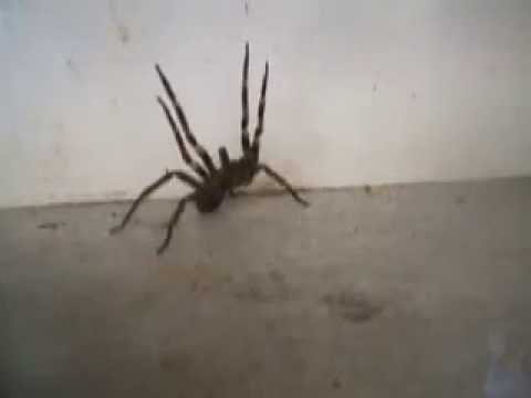 Drawn spider dinner plate #8