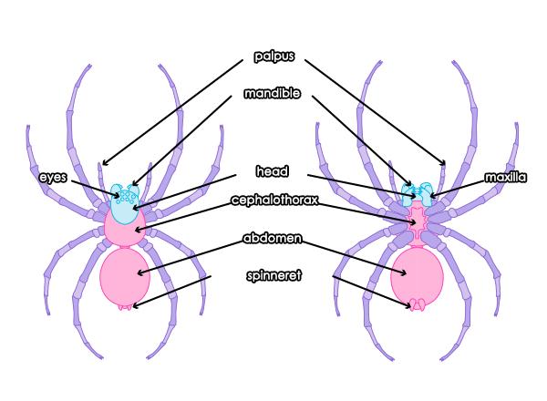 Drawn spider female Movement tutorial How Popular Draw