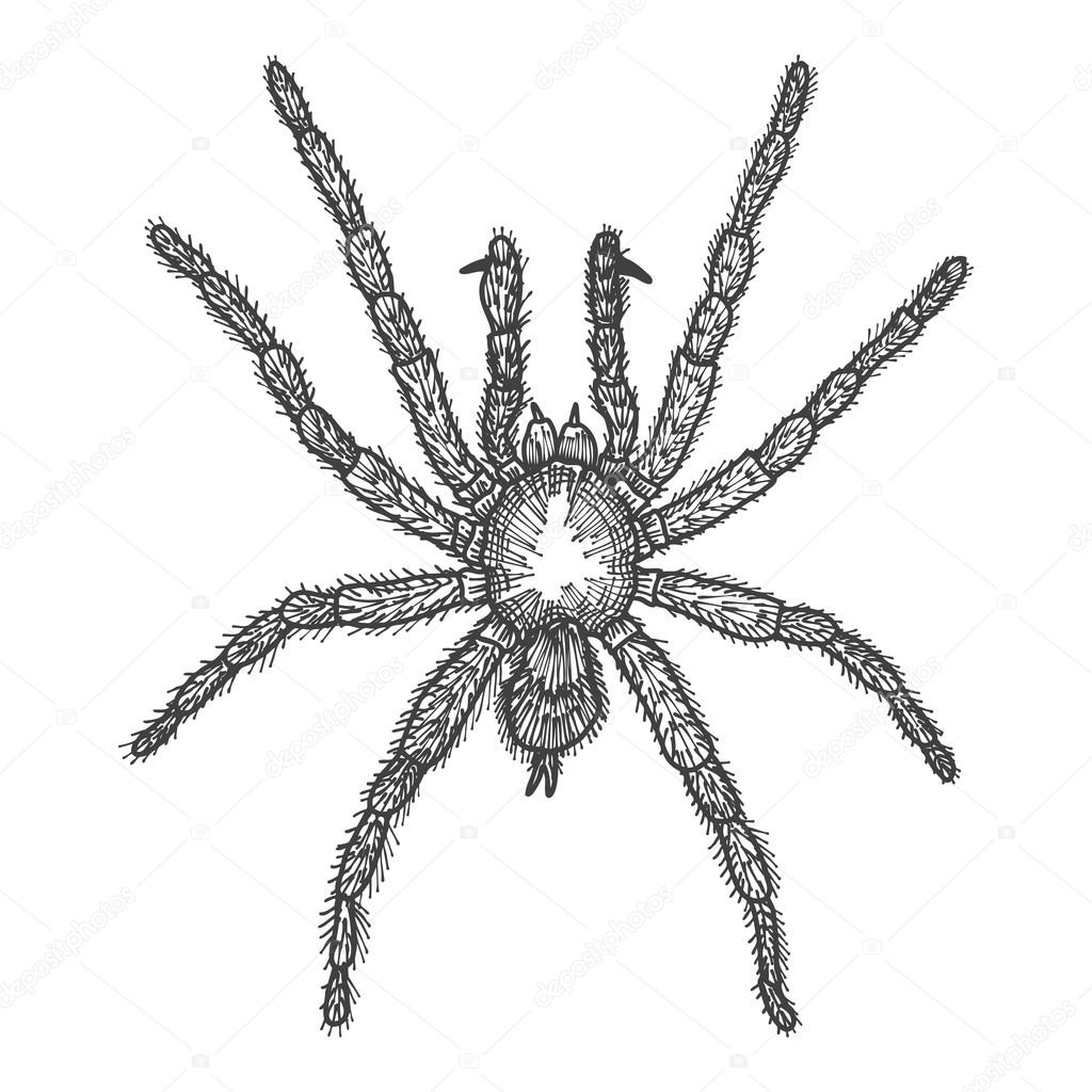 Drawn spider haloween Drawing isolated sketch Halloween attribute