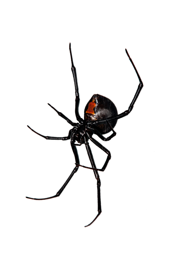 Drawn spider identification Pest  Center Learning Free