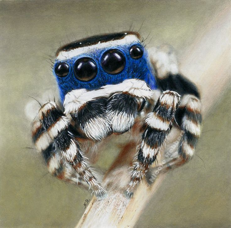 Drawn spider jumping spider Peacock Best Jumping I Traditional
