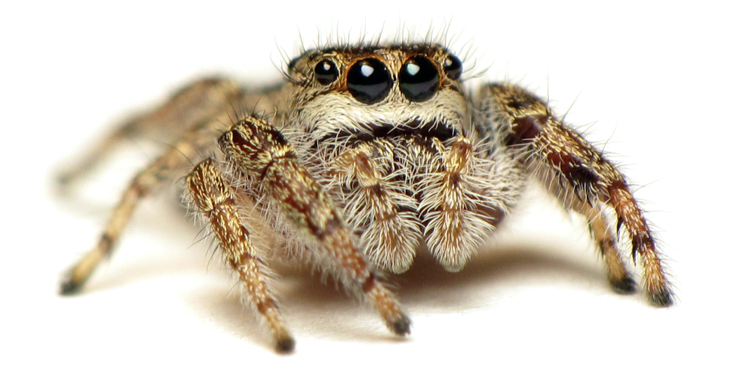 Drawn spider jumping spider Jumping wolf Arthropod insecticides? How
