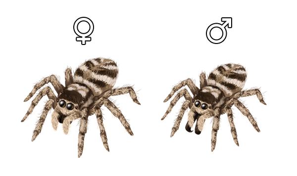 Drawn spider jumping spider Spider Anatomy Movement Draw How