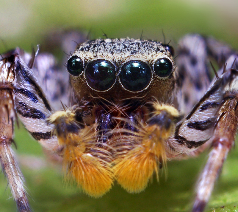 Drawn spider jumping spider  inclemens Wikipedia Maevia