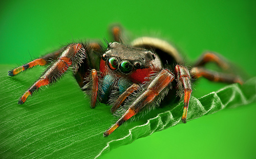 Drawn spider jumping spider Fight EcoTone: Male  and