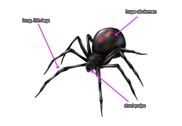 Drawn spider little black Draw How Popular Anatomy Movement