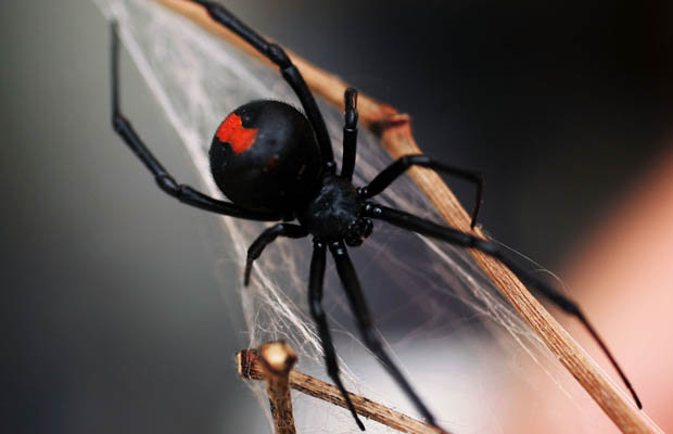 Drawn spider little black Bite the Redback the in