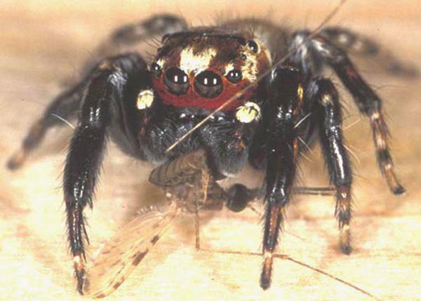Drawn spider not Vampire If – prey that