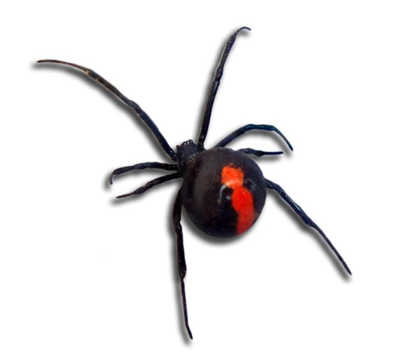 Drawn spider poisonous Latrodectus hasselti (+Creepy in Dangerous