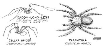 Drawn spider poisonous Cellar spider  School Spiders