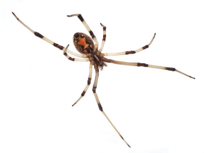 Drawn spider poisonous Widow (+Creepy spider in Dangerous