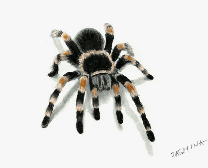 Drawn spider realistic Drawings  and pencil Susak
