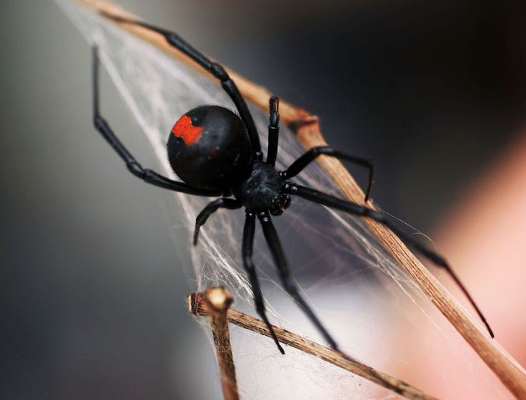 Drawn spider red back spider Venomous of to widow Australia