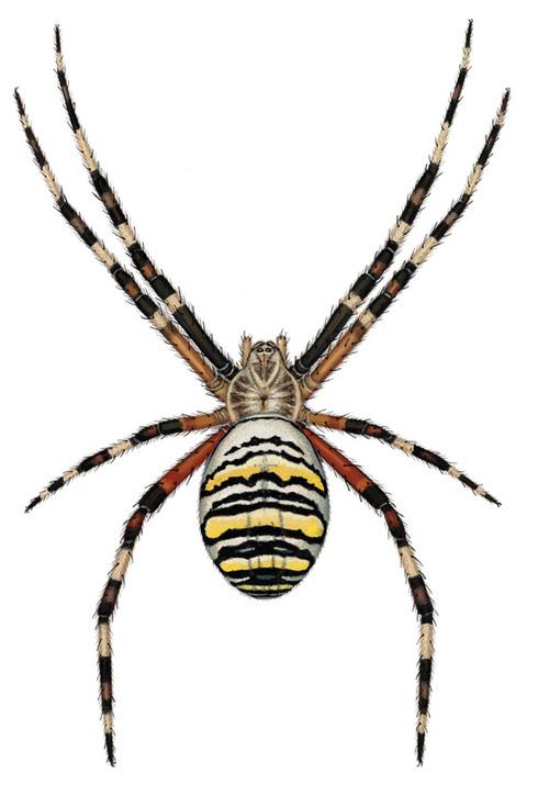 Drawn spider scientific illustration By Scientific via  use