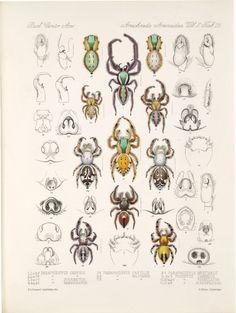 Drawn spider scientific illustration Photo Scientific vintage Spiders Illustration: