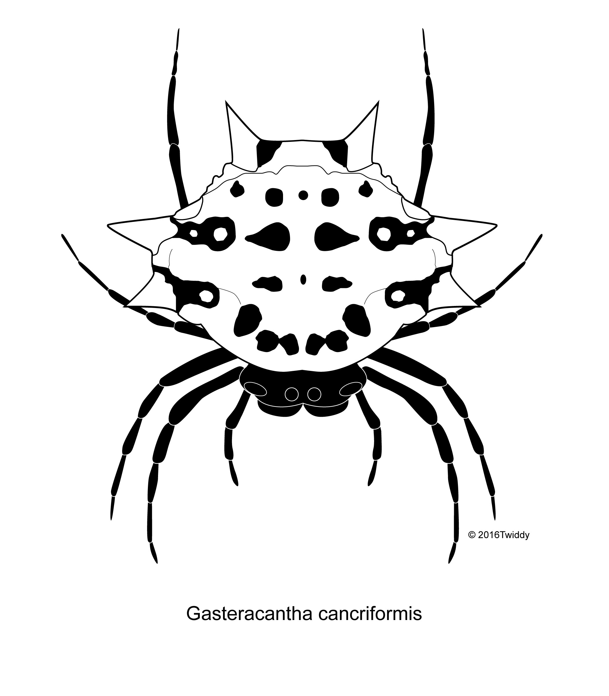 Drawn spider scientific illustration Spiny Gasteracantha Spider; Productions Sean