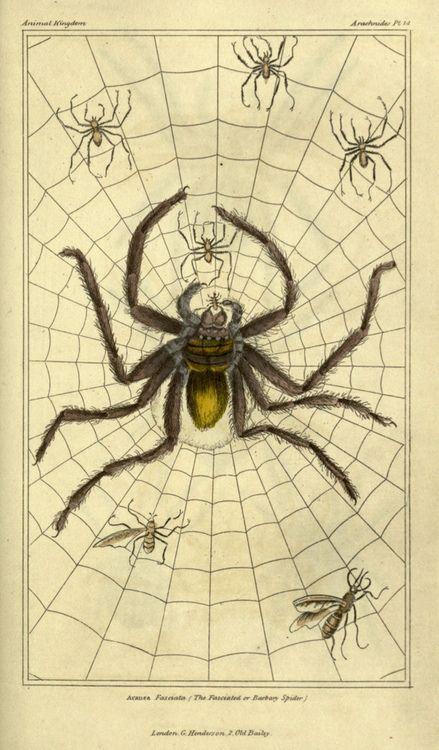Drawn spider scientific illustration  of wasps Scientific Spider