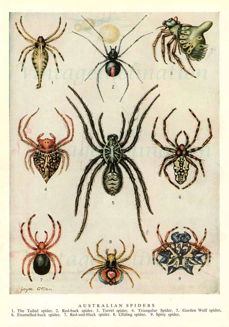 Drawn spider scientific illustration Vintage Spiders spider Illustrations print