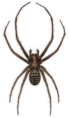 Drawn spider scientific illustration By Scientific via Tattoo Spider